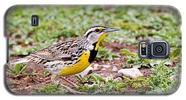 Eastern Meadowlark Sturnella Magna Galaxy S5 Case by Gregory G. Dimijian