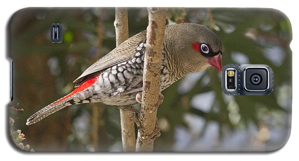 Galaxy S5 Case featuring the photograph Fire Tail Finch by Serene Maisey