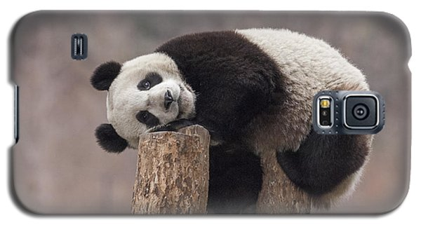 Giant Panda Cub Wolong National Nature Galaxy S5 Case by Katherine Feng