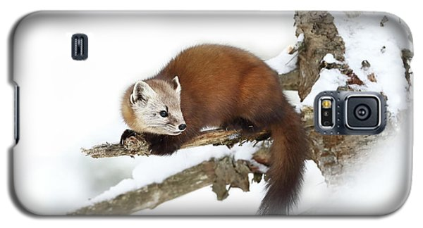 Cold Galaxy S5 Case - Pine Marten - Algonquin Park by Jim Cumming