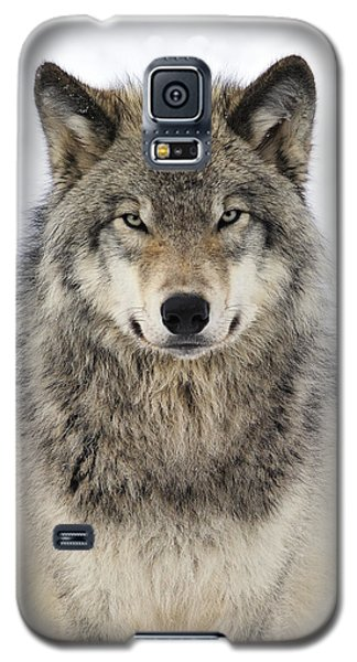 Timber Wolf Portrait Galaxy S5 Case