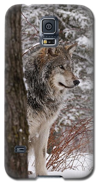 Timber Wolf Galaxy S5 Case by Wolves Only