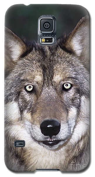 Gray Wolf Portrait Endangered Species Wildlife Rescue Galaxy S5 Case