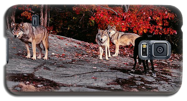 Timber Wolves Under A Red Maple Tree - Pano Galaxy S5 Case by Les Palenik