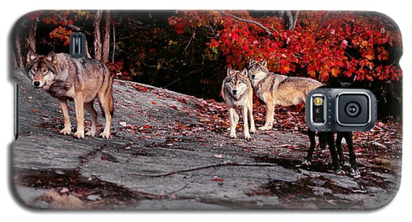 Timber Wolves Under A Red Maple Tree - Pano Galaxy S5 Case