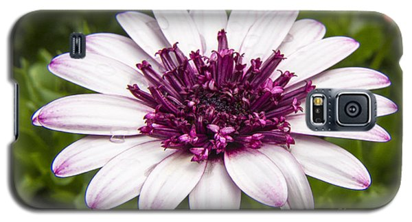 3d Berry White Cape Daisy - Osteospermum  Galaxy S5 Case by Darleen Stry