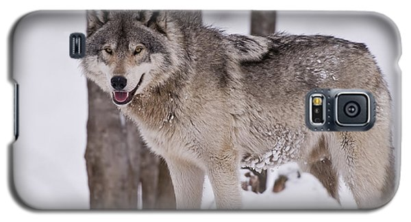 Timber Wolf In Winter Galaxy S5 Case by Wolves Only