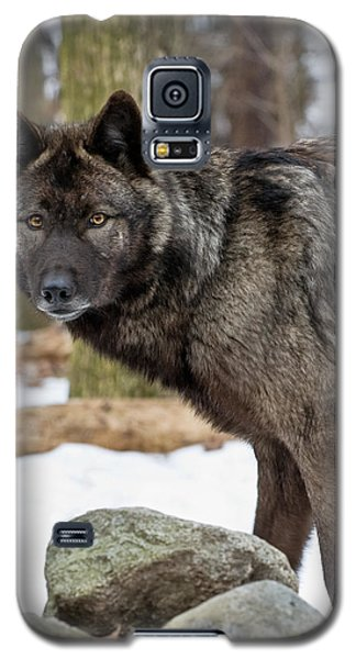 A Wolf's Intense Focus Galaxy S5 Case by Gary Slawsky