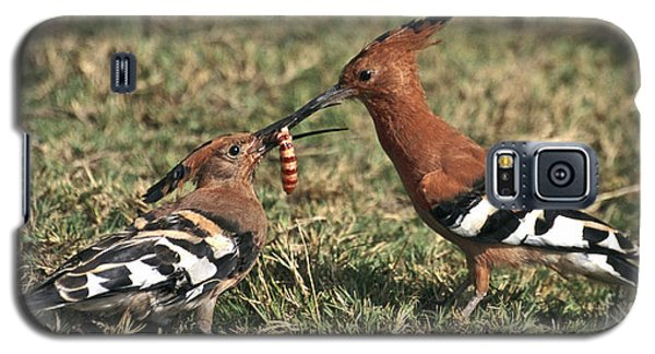 African Hoopoe Feeding Young Galaxy S5 Case