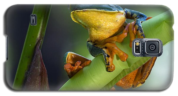 Agalychnis Calcarifer 4 Galaxy S5 Case by Arterra Picture Library