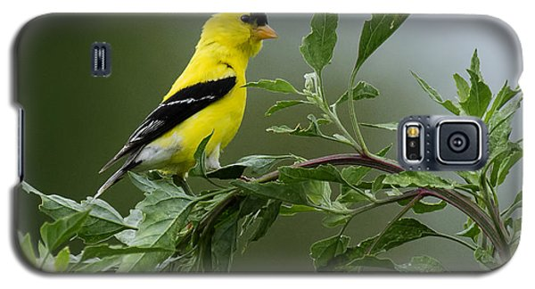 American Goldfinch Delight 2 Galaxy S5 Case