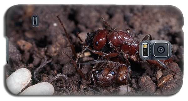 Ant Queen Fight Galaxy S5 Case by Gregory G. Dimijian, M.D.