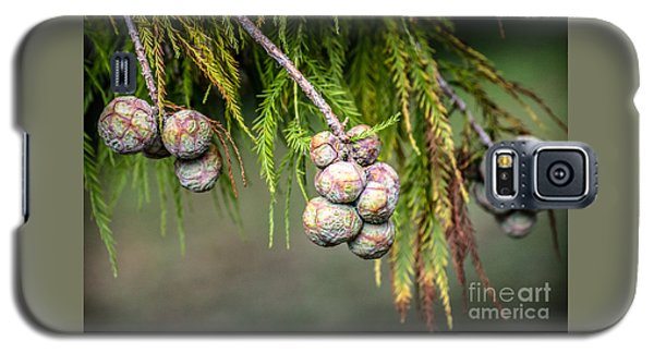 Bald Cypress Tree Seed Pods Galaxy S5 Case