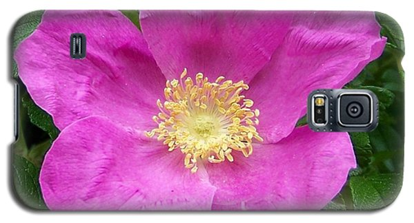 Pink Beach Rose Fully In Bloom Galaxy S5 Case