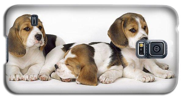 Beagle Puppies, Row Of Three, Second Galaxy S5 Case