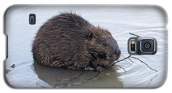 Beaver Chewing On Twig Galaxy S5 Case