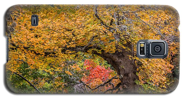 Bigtooth Maples Turning Colors Galaxy S5 Case