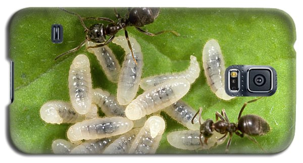 Black Garden Ants Carrying Larvae Galaxy S5 Case by Nigel Downer
