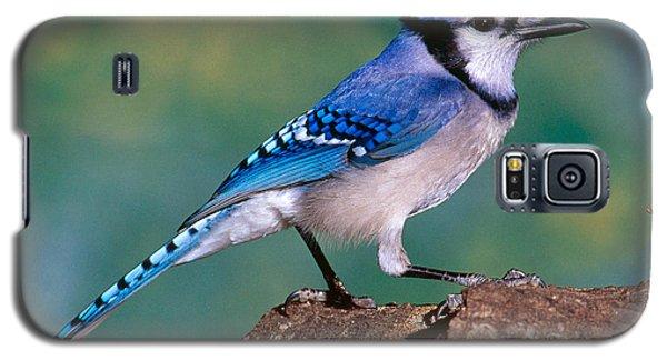 Blue Jay Galaxy S5 Case by Millard H. Sharp