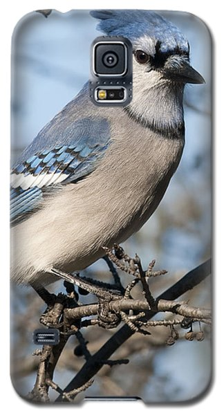 Blue Jay.. Galaxy S5 Case by Nina Stavlund