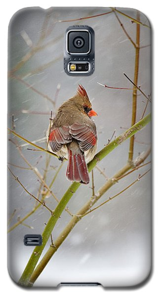 Cardinal On Maple Tree Galaxy S5 Case by Robert Camp