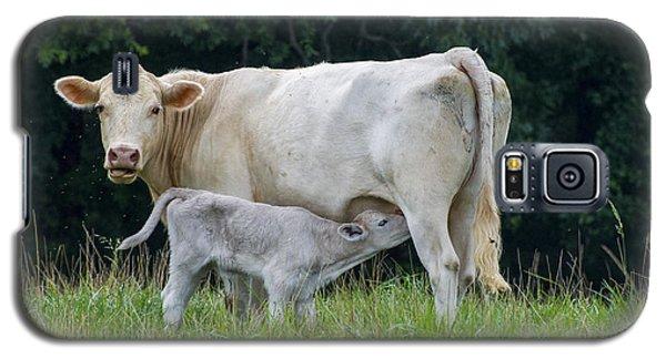 Charolais Cattle Nursing Young Galaxy S5 Case