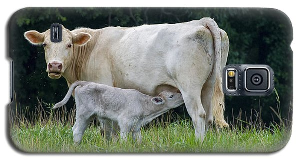 Charolais Cattle Nursing Young Galaxy S5 Case by Chris Flees