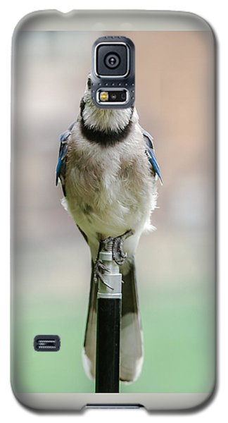 Contemplative Blue Jay Galaxy S5 Case by Jim Moore