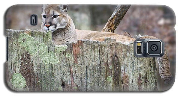 Cougar On A Stump Galaxy S5 Case by Chris Flees
