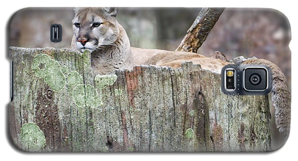 Cougar On A Stump Galaxy S5 Case