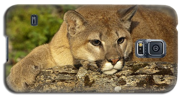 Cougar On Lichen Rock Galaxy S5 Case