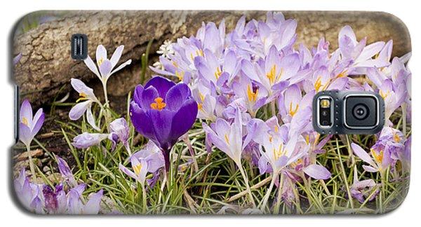 Crocus Garden In Spring Galaxy S5 Case by Maria Janicki