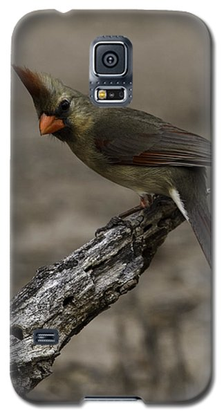 Curious Pyrrhuloxia Galaxy S5 Case