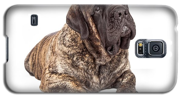 English Mastiff Dog Laying Head Tilted Galaxy S5 Case
