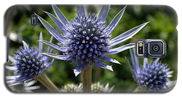 Eryngium Bourgatii. Galaxy S5 Case by Terence Davis
