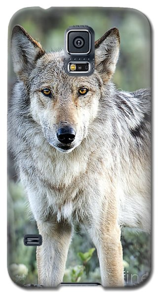 Eye Contact With A Gray Wolf Galaxy S5 Case