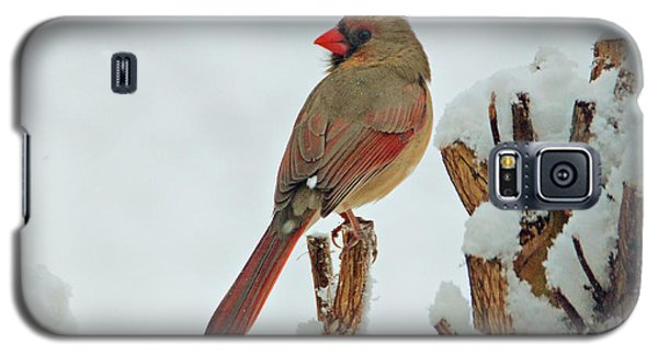 Female Cardinal In The Snow Galaxy S5 Case