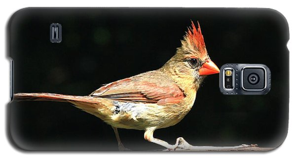 Female Cardinal On Black Galaxy S5 Case