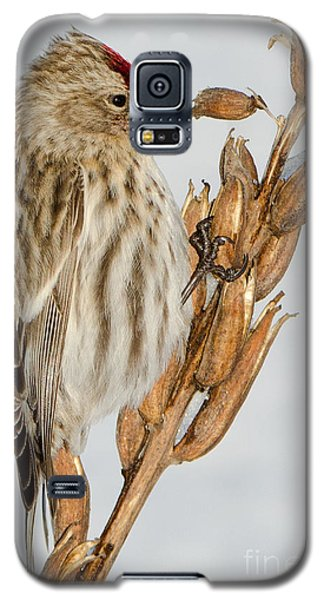 Foraging Redpoll Galaxy S5 Case by Stephen Flint