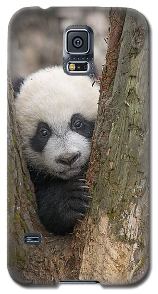 Giant Panda Cub Bifengxia Panda Base Galaxy S5 Case