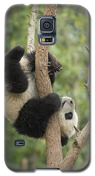 Giant Panda Cub In Tree Chengdu Sichuan Galaxy S5 Case by Katherine Feng
