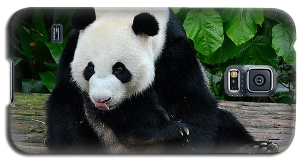 Giant Panda With Tongue Touching Nose At River Safari Zoo Singapore Galaxy S5 Case