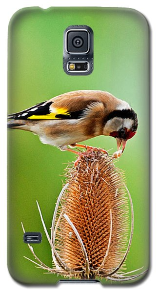 Goldfinch Feeding On Teasel Comb. Galaxy S5 Case by Paul Scoullar
