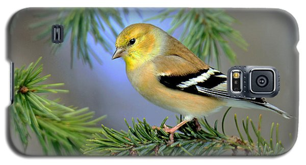 Goldfinch In A Fir Tree Galaxy S5 Case by Rodney Campbell