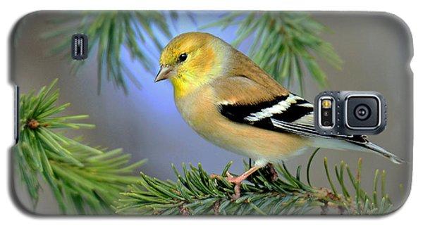 Goldfinch In A Fir Tree Galaxy S5 Case