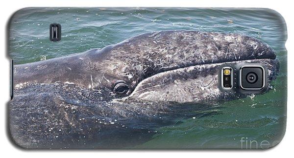 Gray / Grey Whale Eschrichtius Robustus Galaxy S5 Case by Liz Leyden