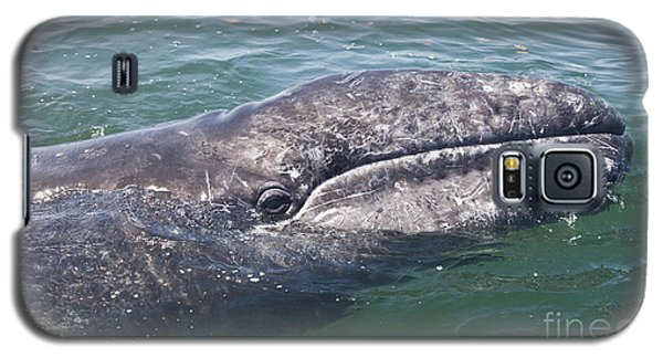 Gray / Grey Whale Eschrichtius Robustus Galaxy S5 Case