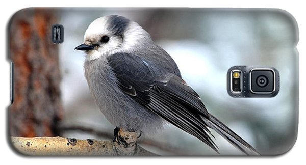 Gray Jay On Aspen Galaxy S5 Case by Marilyn Burton