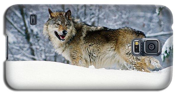 Gray Wolf In Snow, Montana, Usa Galaxy S5 Case