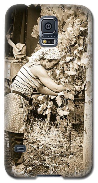 Hand Pickers Following The Mechanical Harvester Harvesting Wine  Galaxy S5 Case